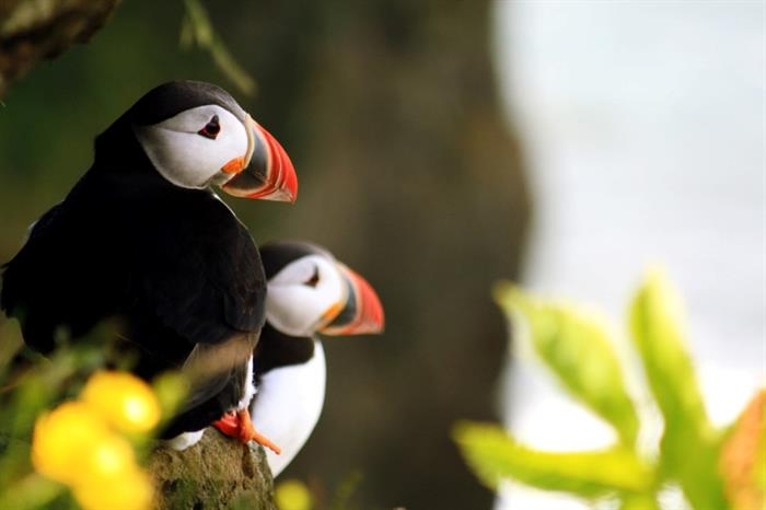 Puffins on Cape Dyrhlaey in South Iceland