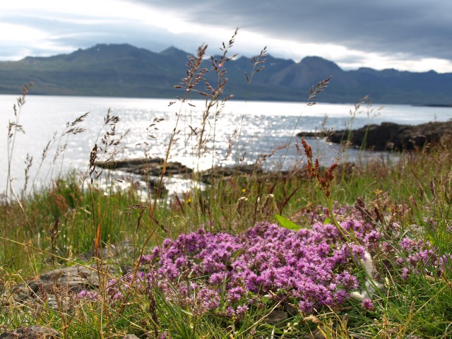 Wild thyme in East Iceland